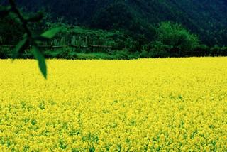 春光灿烂百花开 陕西汉中 赏最美的油菜花