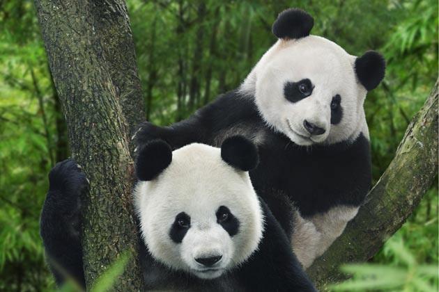 在此,您能近距离观赏中国赠予新加坡的两只大熊猫凯凯和嘉嘉.