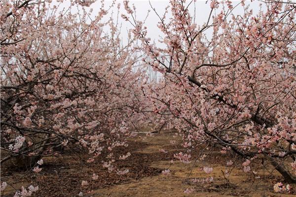 郑州西南侯寨的樱桃沟对于郑州人来说,再熟悉不过了这里环境优美,空气清新,远离城市的喧嚣,置于山的怀抱。 且不说枝头硕果累累时候的采摘,就是阳春三月春暖花开的时候,赏樱桃花,品农家美食,颇让人心动,你有何理由不去呢?樱桃沟的沟壑高高低低,气温略有差异,加上品种不同,使得樱桃花儿的开放先后有序。 一些已经完全绽开了笑脸,另一些则笑不露齿仅仅咧了下嘴,大樱桃最是不紧不慢,花骨朵儿还在孕育中,没有露头。接下来的十天半月,都可以欣赏到樱桃花的美。 从郑州市区前往,沿嵩山南路到南三环,向西南方向走郑密路,经过南水北调