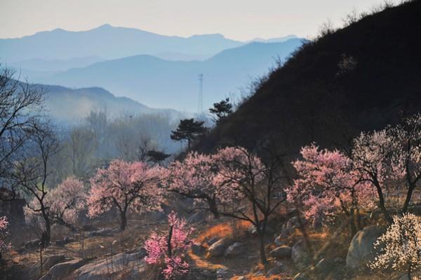 开花杏树有两万余株,小者对掐,大者数人合抱;远远望去层层叠叠的十里杏林,正竞相开放,漫山遍野都是花的海洋,花的世界,丹霞彤云,十里香雪,真是红杏枝头春意闹,把春天发挥到了极致。整个河谷如被一团团、一簇簇的红色烟雾所笼罩,朦胧、迷离、如梦如幻。  盛开的杏花如团团白雪,欲放的蓓蕾似点点朱红。妙的是,这里的杏花并不是长在干巴巴的山坡上,她们生在沟谷的溪流旁、巨石边,大的在百年以上,小的则带露含苞,大片大片的杏花让人目不暇接。山涧里、坡坎上、河岸边,那一簇簇、一束束杏花,似乎正在迎风向我们招手致意。  我们沿