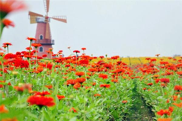 整片四季花海以荷兰大风车为中心,百合花,大波斯菊,虞美人,醉蝶花等