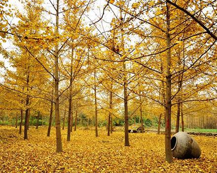 我分享了 o黄得最好看的银杏第一村 都江堰